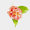 Light and Bright Camellia