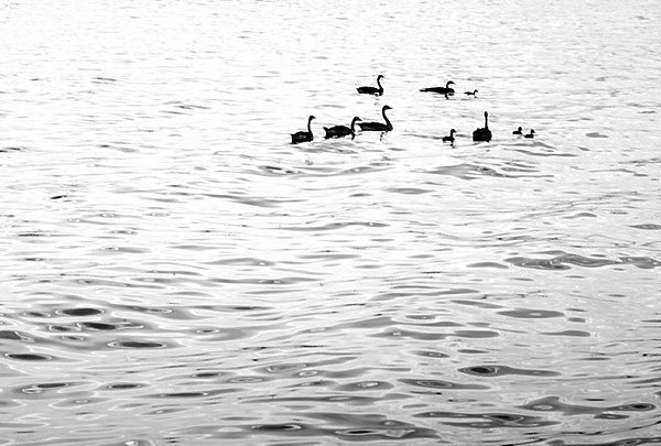 1963 CO Denver geese on Sloans lake