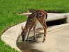 2013 07 31 Places 59W fawn gets a drink