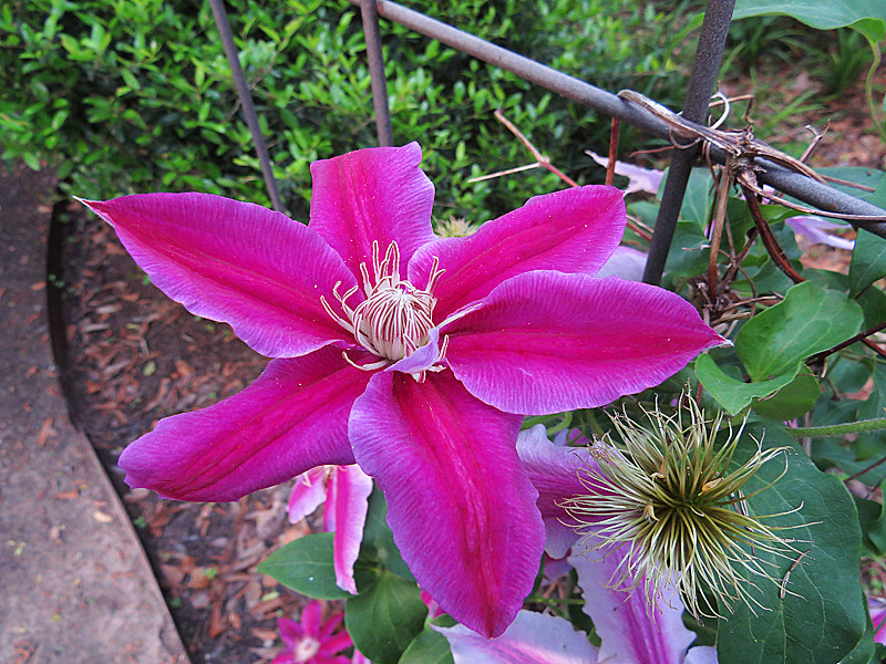 2013 04 16 Flowers 59W Backyard Clematis on the trelise