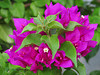 2013 07 03 Flowers MG Bougainvillea bunch