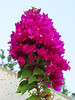 2013 07 03 Flowers MG Bougainvillea climbs up wall