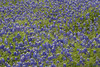 2005 03 29 Flowers Bluebonnets