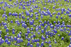 2005 03 29 Flowers A nice patch of Bluebonnets