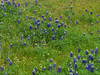 2013 03 22 Flowers TW Bluebonnets mixed with yellows