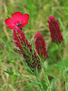 2013 03 22 Flowers TW Crimson Clover and Scarlet Flax