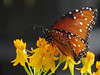2014 10 10 WC Butterfly weed