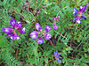 2014 03 31 Flowers Slim-pod milk vetch