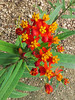 2014 10 10 WC Butterfly weed and beetle