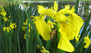 2014 04 11 TX Flowers TW Bright yellow iris