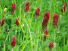 2014 03 11 TW Flowers Crimson clover