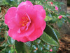 2014 11 59W Backyard camelia bloom