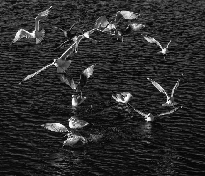 Frenzy of the Gulls