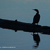 Shadow Of A Cormorant