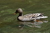 (27Apr13)<br /> <br /> floating past, redux (re-ducks?)<br /> <br /> f/8, 1/1250s, iso 800.