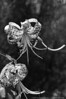 "(25Jul13)  tiger lilies in b/w.  <a href=""http://carpelumen.smugmug.com/Photography/2012/July12/23903237_fFMkTx#!i=1991414039&k=ztWkvvJ"">one year ago.</a>  f/11, 1/640s, iso 800."