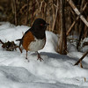 Spotted Towhee On Snow