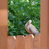 (15Aug14)<br /> <br /> framed dove.<br /> <br /> f/11, 1/400s, iso 1600.