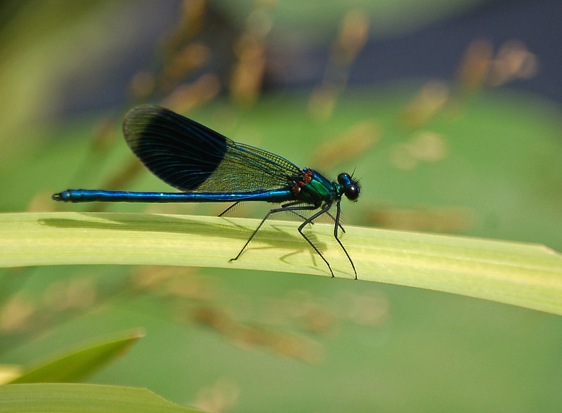 26.07.13 - Banded Demoiselle  I featured one of these guys on 18.07.13, they are everywhere at the moment so I hope you don't mind seeing another one :)