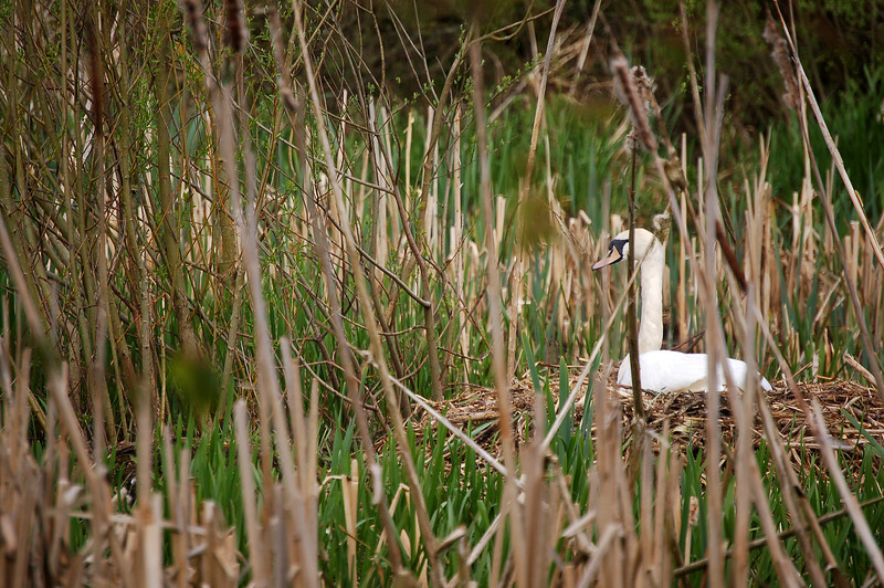 06.05.13 - We Can See You!  This swan made her nest in the middle of the reeds down at the Old Fishponds. Soon the new growth will make her almost invisible, but at the moment we can still see her, just!