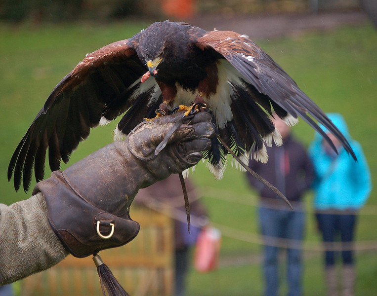 16.03.13 - Feeding Time  This is a Harris Hawk getting his reward after a successful show in Lincoln Castle yesterday. The weather was horrible, but he didn't seem to mind too much. I'm going up there again today with the twins, at the moment the weather is a bit better :)