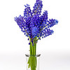 Spring Grape Hyacinth in a vase