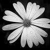 African daisy macro with rain drops done in monochrome