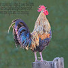 Crowing rooster after sunrise on an Old Historic farm in Sutter CA