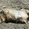 A golden retriever named Joe Dirt lives up to his reputation at Main Street Beach in Vermilion. BRUCE BISHOP/CHRONICLE