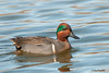 Eurasian (Common Teal), Drake