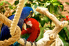 Green-Winged Macaw & Hyacinth Macaw