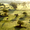 Serengeti Morning - Lobo