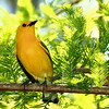 Prothonotary Warbler.