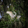 White Egrets in Trees - 1