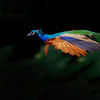 Flying Peacock (5888)