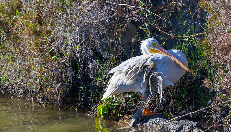 Injured White Pelican