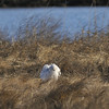 Snowy owl Stretching and fluffing