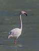 A GREATER FLAMINGO THAT MAY HAVE BEEN BLOWN INTO TEXAS BY HURRICANE ANDREW.  WILDLIFE OFFICERS AT LAGUNA ATASCOSA NWR ON THE TEXAS GULF COAST WERE AWARE THAT A FLAMINGO HAD ARRIVED AT THE REFUGE.  FOR QUITE A WHILE IT REMAINED ON THE OUTER REACHES OF THE VAST, SHALLOW LAKES ON THE REFUGE AND THEY HAD NOT BEEN ABLE TO GET AN ID PHOTO TO VERIFY THE SPECIES.  THEN, ON THE SAME MORNING THAT WE WERE PHOTOGRAPHING A MELANISTIC ROSEATE SPOONBILL ON ONE SIDE OF ONE OF THE TOUR ROADS, THE WIND CHANGED AND   THE FLAMINGO FLEW IN  CLOSER TO US ON THE LAKE ON THE OTHER SIDE OF THE ROAD!  WHAT A DAY!  WE WERE ABLE TO GET A PHOTO AND TO IDENTIFY THIS LOVELY ALL-PINK BIRD AS A GREATER FLAMINGO.