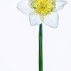 Single Daffodil on White