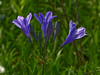 <em>Triteleia laxa</em>, Ithuriel's Spear, native.  <em>Themidaceae</em> (Brodiaea family). Brooks Island, Contra Costa Co., CA 2012/05/06, jm2p1514