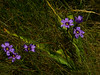 <em>Sisyrinchium bellum</em>, Blue-eyed Grass, native.  <em>Iridaceae</em> (Iris family). Brooks Island, Contra Costa Co., CA 2012/05/06, jm2p1360