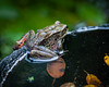 Another view of a for-sure Northern Red-legged Frog in our pond.