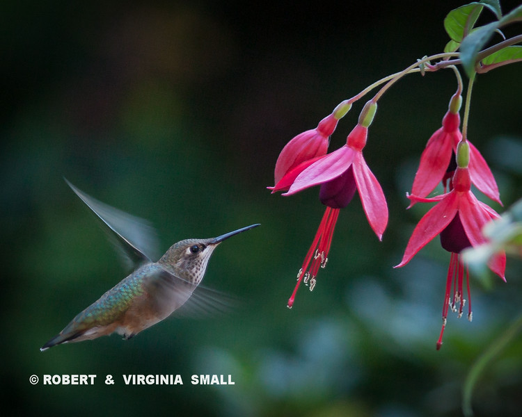 HUMMINGBIRD AT OUR NEW FUCHSIA BLOSSOMS