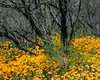 MILLIONS OF MEXICAN GOLD POPPIES CARPETED THIS AREA - AND IT CERTAINLY LIT UP THE AREA UNDER THAT DRAB GRAY BRUSH
