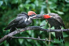 IN THIS IMAGE THE FEMALE PILEATED FEEDS HER MALE YOUNGSTER, NOT THE EASIEST OF PARENTAL JOBS . . .