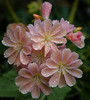 ONLY ENHANCED BY A SUMMER SHOWER THE PALE PINK LEWISIA IS A TREASURE IN OUR GARDEN