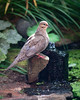 A MOURNING DOVE STRIKES A PRETTY POSE ON A BUBBLER AT OUR POND