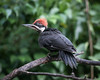 THE YOUNG MALE PILEATED WOODPECKER