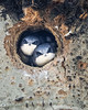 TREE SWALLOW NESTLINGS IN THEIR CAVITY HOME AWAITING A FOOD DELIVERY BY THEIR PARENT