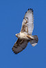 A FERRUGINOUS HAWK IN FLIGHT